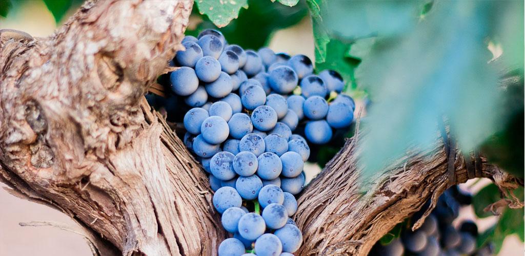 racimo de uva en la vid